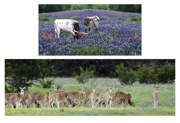 Bluebonnets,Deer